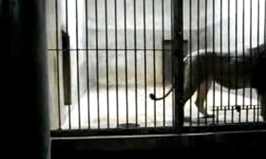 自然传奇狮子吃老虎,动物世界老虎咬死狮子 6