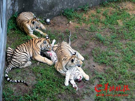 狮子咬死老虎的真实视频图,大老虎惨遭狮子咬死 4