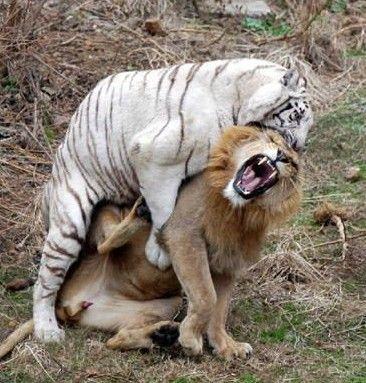 狮子咬死老虎的真实视频图,大老虎惨遭狮子咬死 5