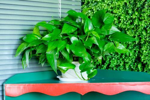 绿萝养殖方法和注意事项有哪些 绿萝的作用叶子发黄原因如何解决 2