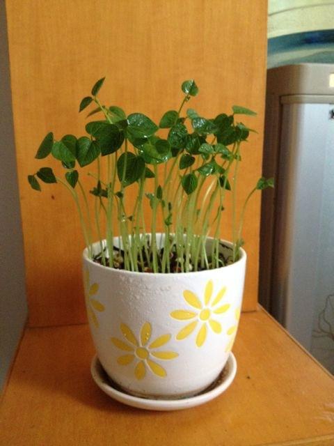 怎样水培红豆步骤有哪些图解 红豆怎么水培小盆栽水培瓶怎么做