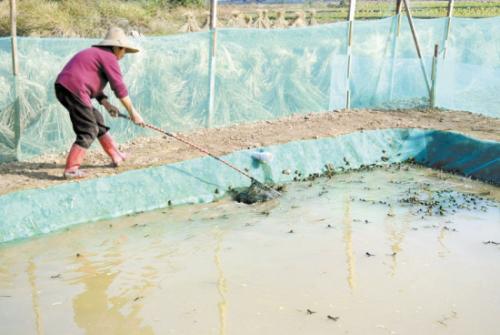 低成本人工牛蛙养殖场怎么建造整体规划一览图片?
