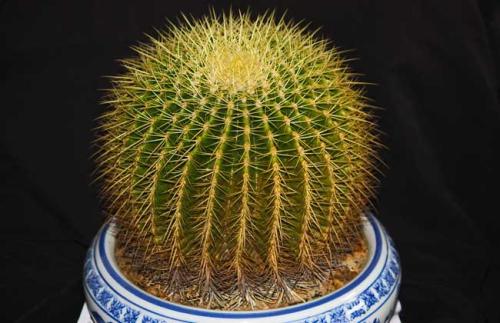 仙人球最常见的品种名称大全附图介绍, 哪个品种的仙人球最好