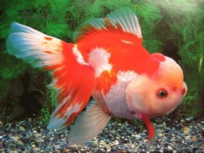 鹅头红金鱼价格怎么分公母方法技巧 鹅头红金鱼怎么养多久繁殖图片
