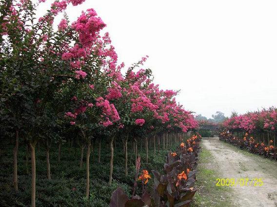 紫薇树什么时候移栽最佳时机 紫薇树移栽多久能活移栽后怎么浇水