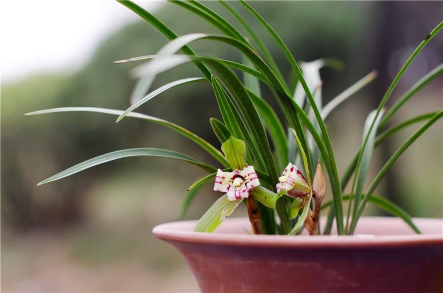 兰草怎么养_兰花怎么养最好如何浇水用什么土栽培最好?冬天兰花怎么养技巧