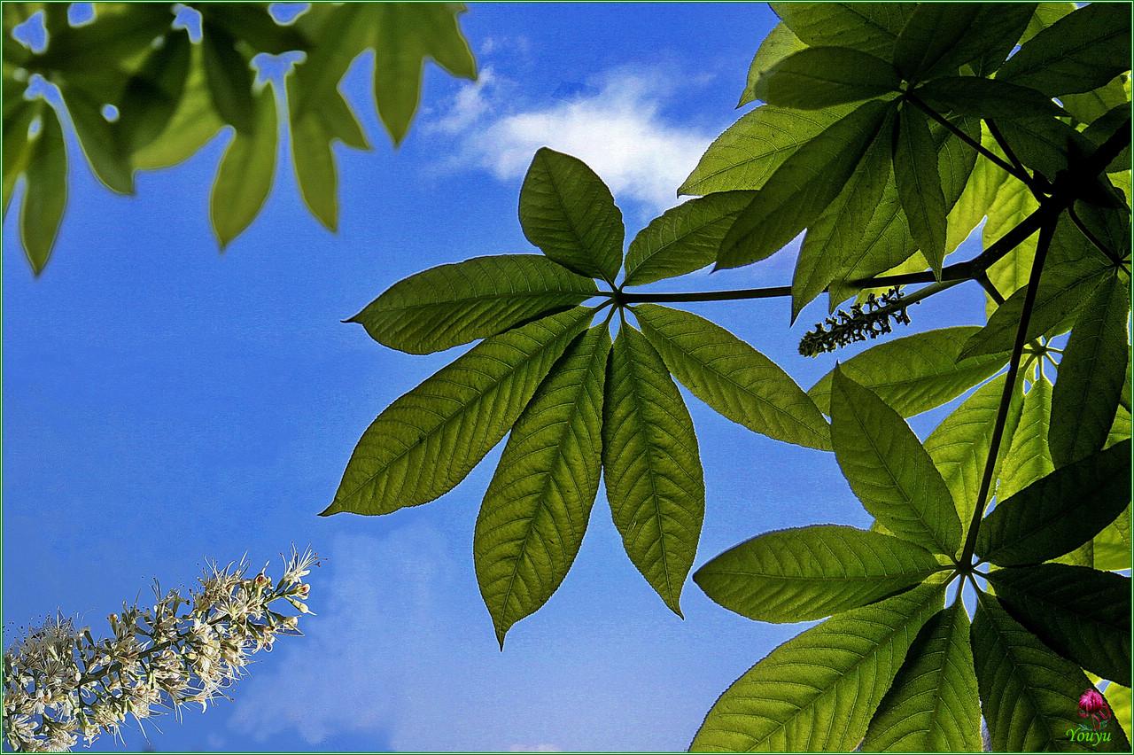 七叶树的果实能吃吗功效与作用有哪些 七叶树寓意象征图片