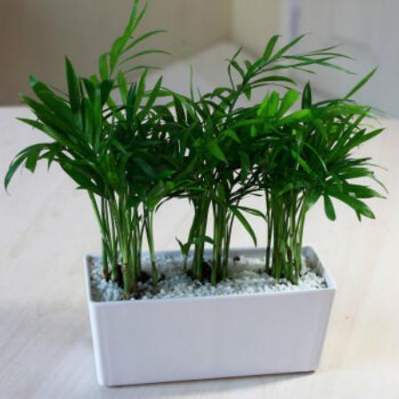 袖珍椰子图片_袖珍椰子最实用的养殖方法和注意事项,袖珍椰子的繁殖技巧图解(2)
