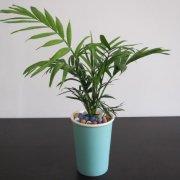 清香木盆景怎么养_鸢尾种子怎样算成熟什么时候种 鸢尾花种子怎么种种植方法介绍(2)