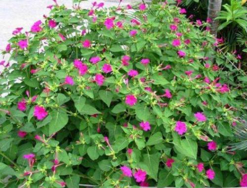 紫茉莉种子粉_如何用紫茉莉种子祛斑 紫茉莉的功效与作用 紫茉莉种子粉用法