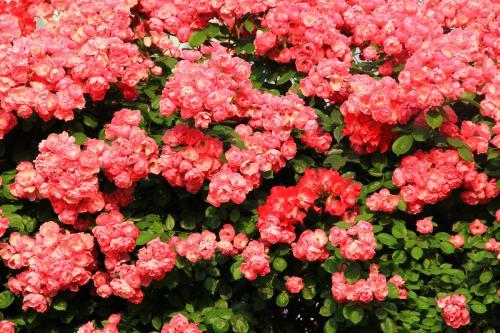 蔷薇花花语是什么意思花语大全 蔷薇花的传说故事以及寓意是什么
