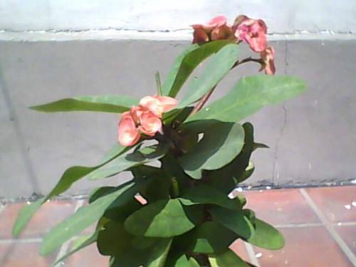 梨树为什么不开花_虎刺梅为什么不开花原因 虎刺梅什么时候开花怎么多开花