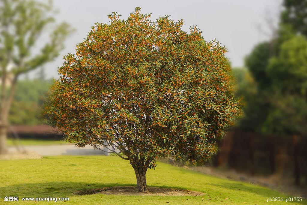 桂花树是鬼树吗  门前种桂花树风水好吗 家里为什么不能种桂花