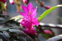 蟹爪兰适合什么花盆用多大盆 蟹爪兰用什么花盆好看一盆几棵好看