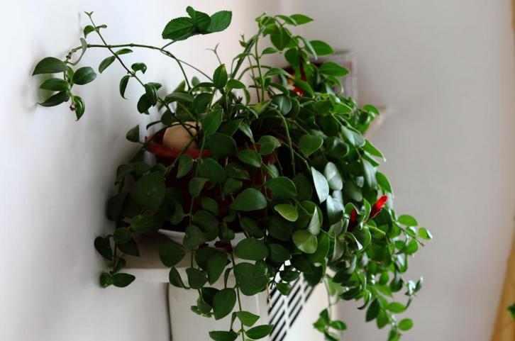 口红吊兰冬天怎么养 口红吊兰什么时候换盆怎么繁殖几月扦插图解