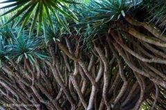 龙血树养几个头好怎么分成多头 如何让龙血树单头长成多头