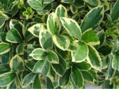 金边黄杨常见虫害有哪些 金边黄杨病虫害怎么防治方法介绍