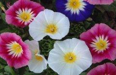 三色旋花怎么种 关于三色旋的养殖方法和注意事项你一定要看