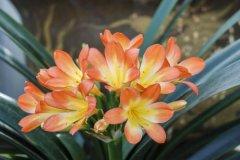 龙吐珠花图片_君子兰开花有什么兆头好吗 君子兰开花的迷信说法你知道吗
