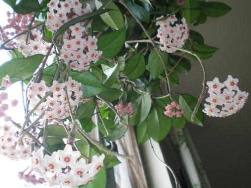 梨树为什么不开花_球兰为什么不开花多久开花 让球兰快速开花的小窍门全都在这里