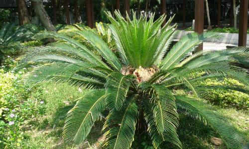 为什么家里不能养铁树 养铁树有什么忌讳风水作用详解