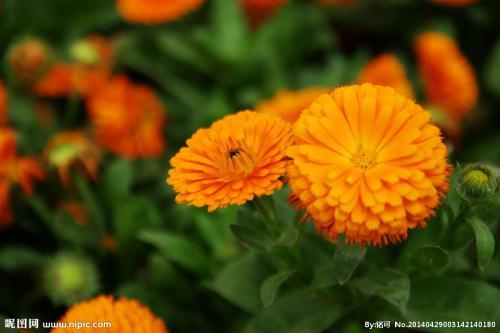 非洲菊好养吗怎么养 非洲菊的养殖方法和注意事项这里就有