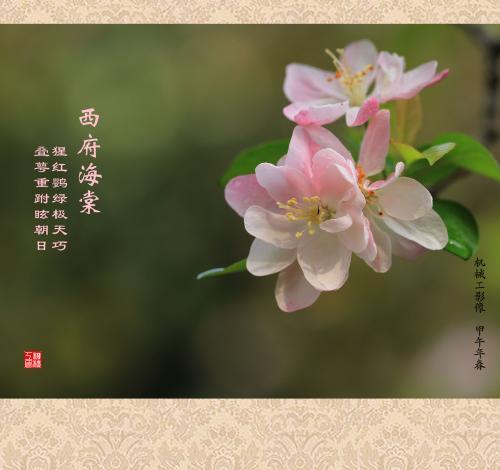 西府海棠养殖方法和注意事项有哪些 西府海棠养护要点这些要注意