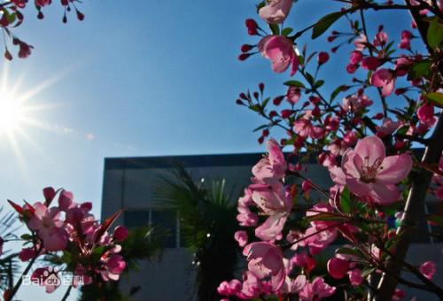 盆栽海棠花怎么养 海棠花的养殖方法和注意事项有哪些