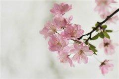 盆栽海棠花怎么养 海棠花的