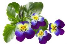 三色堇的花语是什么  三色堇适合送给什么人你知道吗