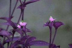 紫竹梅有毒吗能放在室内吗 紫竹梅的风水学作用你知道吗