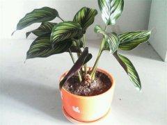 双线竹芋可以水培吗,水培双线竹芋要如何养护方法都在这里