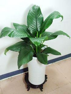 绿巨人花怎么养_绿巨人植物叶子垂下怎么办 这个方法能解决绿巨人叶子下垂问题
