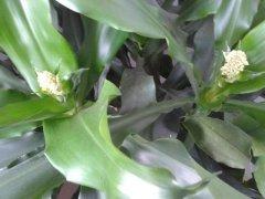 螺纹铁开花吗什么时候开花 螺旋铁开花有什么寓意吗