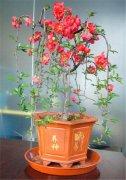日本海棠盆景的养护 这里有日本海棠盆景如何制作全过程介绍