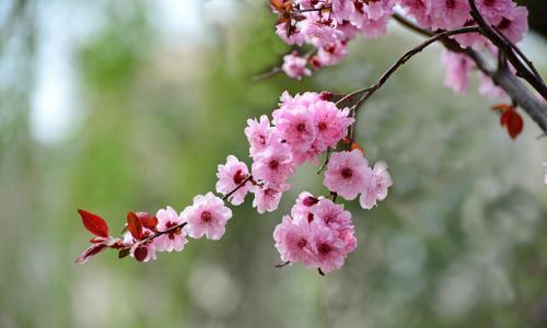 三叶梅为什么不开花_美人梅和紫叶李、榆叶梅的区别是什么 这三种植物不一样哦