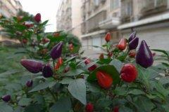五彩椒是转基因食品吗 五彩椒能不能吃在这里为大家揭秘