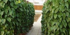 心叶藤怎么施肥 正确的施肥方法会让心叶藤生长的更旺盛哦