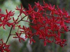 火焰兰花语是什么 火焰兰象征了什么意义你知道吗