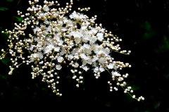 珍珠梅养几年开花?珍珠梅不开花可能是这些原因导致的
