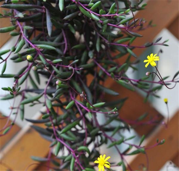 紫弦月几天浇一次水 紫弦月的养殖方法和注意事项介绍