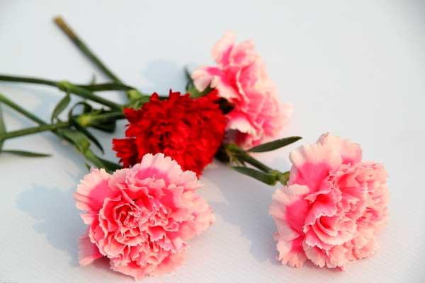 康乃馨叶子发白图片