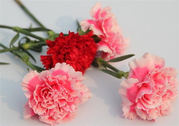 康乃馨叶子卷图片