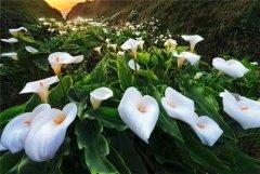 马蹄莲开完花怎么办 马蹄莲花期过后如何养护方法介绍