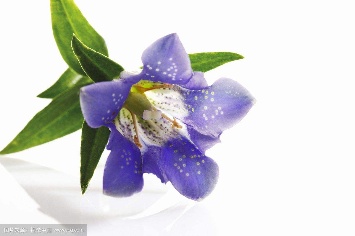 龙胆花的怎么养长得好  学会此雕刻几招帮你养出产斑斓的龙胆花