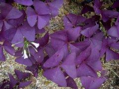 家庭盆栽紫叶酢浆草的养护方法介绍 这么照顾紫叶酢浆草一定好
