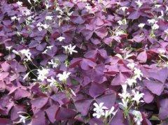 紫叶酢浆草的常见虫害都有哪些 这些防治方法你学会了吗