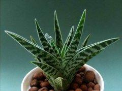 翠花掌有毒吗能养在室内吗 家养翠花掌需要注意这些事项