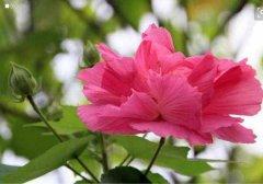 芙蓉花的功效与作用有哪些?家养芙蓉花的好处可真不少