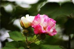 芙蓉花的花语及象征意义是什么  芙蓉花不可乱送人哦
